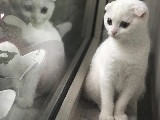 Kar beyazı bal gözlü scottısh yavruma yuva arıyorum