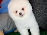 Sevimli ve güler yüzlü beyaz Pomeranian Boo yavrumuz