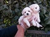 ırk garantili maltes terrier yavrularımız