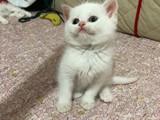 Safkan Beyaz British Shorthair