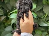 Siyah black dişi 2 toy poodle yavrumuz