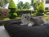 Küçük arslan Scottish straight long hair çinçilla erkek kedi