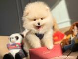 Minik yüz yapısına sahip Pomeranian boo