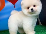 Muhteşem Yüz Yapısına Sahip Pomeranian Boo Yavruları