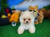 Teddybear yarışma düzeyi boo yavrumuz
