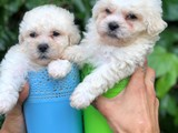 Show boys toy poodle