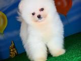 Gülen Surat Pomeranian Boo Oğlumuz Felix