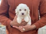 Güzel maltese terrier yavrularımız
