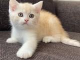 Bi color özel renk british shorthair erkek yavrumuz
