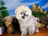 Kocakafa Oyuncu Pomeranian Boo yavrumuz