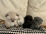 Scotish Fold Yavrular Yeni Yuvalarını Bekliyor