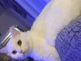 Schottish straight shorthair beyaz iri yetişkin dişi