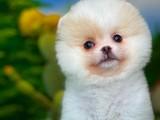 Yeni gelen özel particolor renk Pomeranian