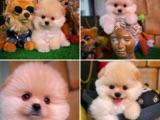 Özel Üretim Muhteşem TeddyBear surat Pomeranian Boo Yavruları