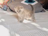 Lilac Scottish Fold BEBEK YAVRUMUZ(kendi kedilerimin yavruları)