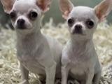 Mini boy chihuahua erkek yavrular
