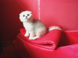 Irk garantili Scottish Fold Shorthair