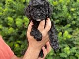 Siyah black toy poodle erkek yavrumuz