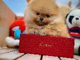 Yeni gelen teddybear pomeranian oğlumuz 'KAREL'