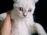 3 Aylık Beyaz blue point Scottish Fold