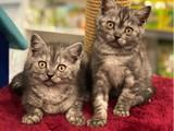 Black silver tabby british shorthair yavrularımız