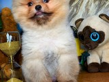 Irkının En Güzeli Ayıcık Surat Pomeranian Boo Yavrularımız