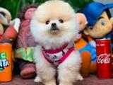 Yarışma Düzeyi Teacup Boy Pomeranian Boo Oğlumuz