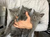 2 aylık safkan british shorthair yavrular