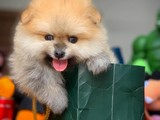 Ayıcak surat Pomeranian boo