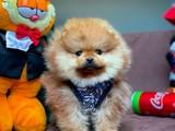 Yarışma Düzeyi PomeranianBoo için İletişime Geçiniz