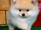 Türkiyenin En Güzel SCR Sertifikalı Pomeranian Boo Yavruları
