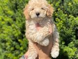 Irk ve sağlık garantili apricot toy poodle yavrumuz