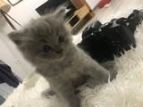 1,5 aylık Scottish Fold erkek yavru Samsun