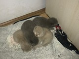 Seçereli British ve Scottish kedi yavruları