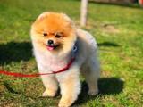 Pomeranian Boo minyatür gülen surat