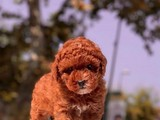 RED BROWN MİNİ TOY POODLE YAVRULARIMIZ