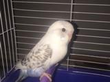 Muhabbet kuşu yavru yeni yeme düşmüş ev üretimi ele alışkın
