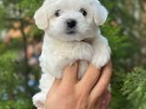 Mini maltese terrier dişi yavrular