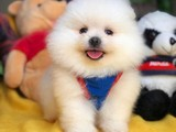 Muhteşem Güzellikte ve Kalitede Kar Beyaz Pomeranian Boo Yavrumuz