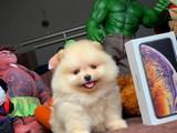 Gülen Surat Pomeranian Boo Oğlumuz Buffy