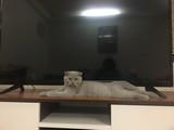 Scottish fold yavru
