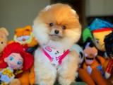 Her Hafta Yenilenen Irk ve Sağlık Onaylı Pomeranian Boo Yavrular