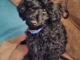 4 aylık erkek siyah toy poodle