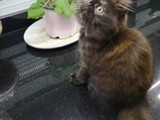 2 aylık Yavu İran kedisi (Dişi)