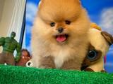 Minik fizik yapısına sahip Pomeranian boo