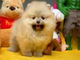 En iyi surat yapısı gülen yüz Pomeranian boo