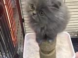 2 aylık British Longhair