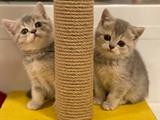 Blue golden british shorthair yavrularımız