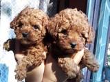 Poodle yavrularımız orijinal safkan