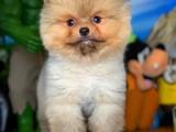Show Class SCR Sertifika Belgeli Muhteşem Pomeranian Boo